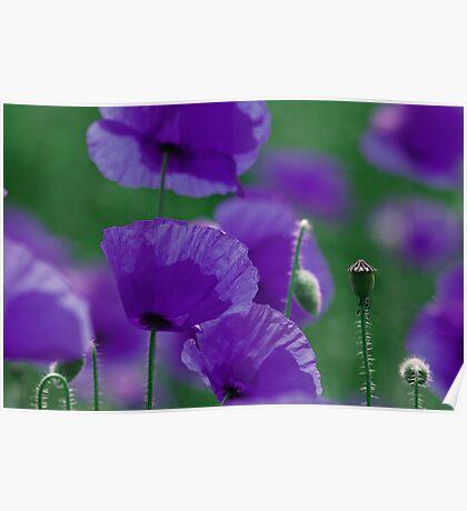 violett Mohn Art Poster