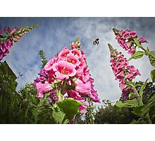 Foxgloves and Bee at Great Dixter House Photographic Print
