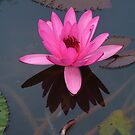 Pink water lily by Sue Downey