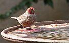 Red-headed finch / Rooikopvink by Elizabeth Kendall