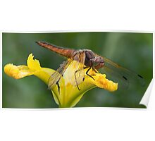 Immature Female Scarce Chaser Poster