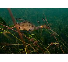 Taming the Weedy Sea Dragon #2 Photographic Print