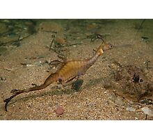 Taming the Weedy Sea Dragon #3 Photographic Print