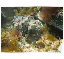 Giant Australian Cuttlefish (Sepia apama) camouflage rocks Poster