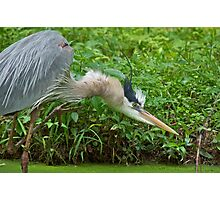 Great Blue Heron on the Attack Photographic Print