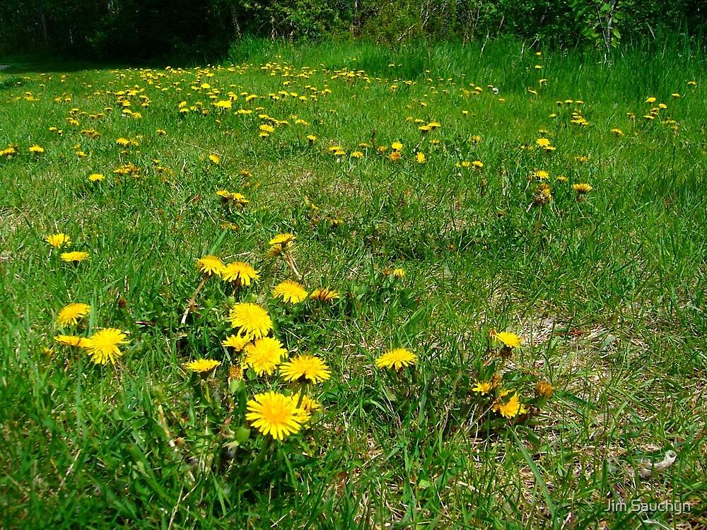 Field of Dandelions by Jim Sauchyn