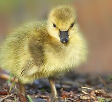 Tiny Gosling by KatMagic Photography