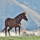 Wild Idaho Mustang Stud  (Best Viewed in LARGE format!) by Guy Jenkins