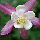 Columbine by Tony Steel