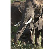 African elephant Photographic Print