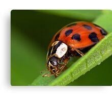 Ladybird - Ladybug - Marienkäfer - Glückskäfer Canvas Print