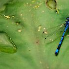Damson fly & drop of water by yampy