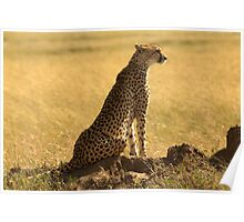 Cheetah in Serengeti National Park Poster