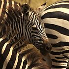 Grant's zebras, Ngorongoro, Tanzania by Michal Cerny