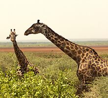 Maasai Giraffe, Manyara National Park by Michal Cerny
