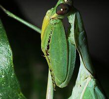 Praying mantis by Michal Cerny