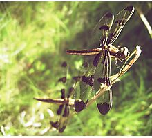 Two Dragonflies Photographic Print