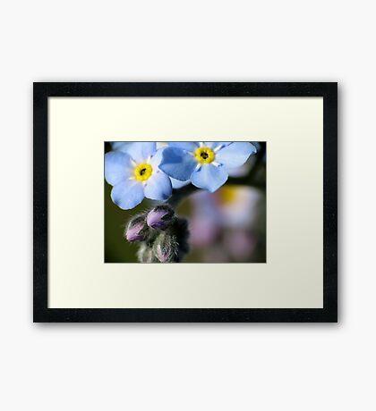 Forget-Me-Nots 6 Framed Print