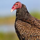Friendly Turkey Vulture. by Daniel Cadieux