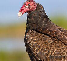 Friendly Turkey Vulture. by Daniel Cadieux