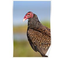 Friendly Turkey Vulture. Poster