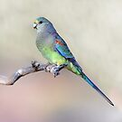 Mulga Parrot (Female) taken Gluepot SA. by Alwyn Simple