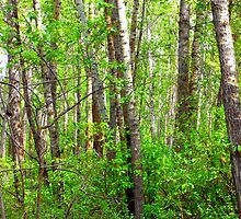 In the aspen forest by Jim Sauchyn
