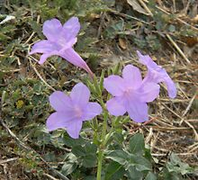 Wild Petunias in Soft Light by Navigator