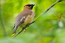 Cedar Waxwing by Michael Cummings