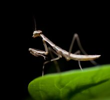 Baby Mantis by jude walton