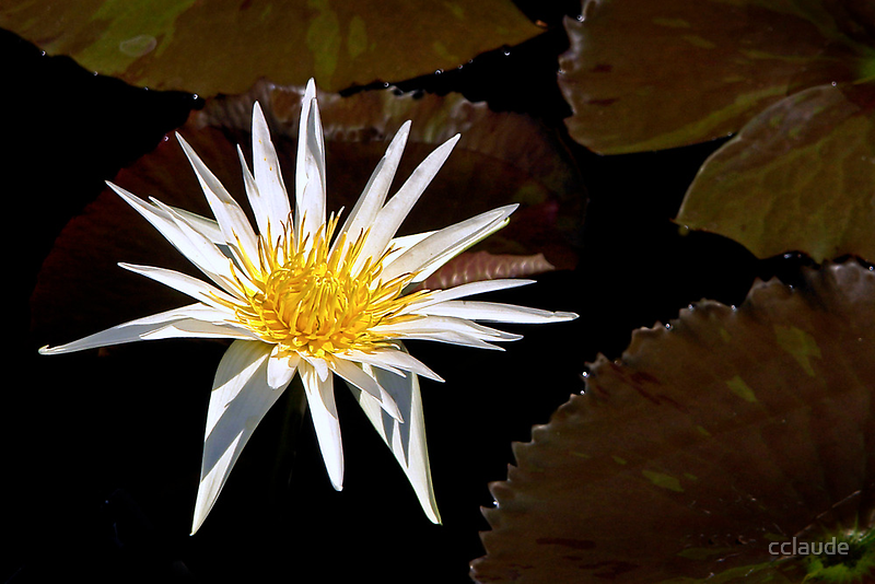 White Waterlily by cclaude