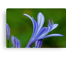 Purple-blue flower and buds close-up Canvas Print