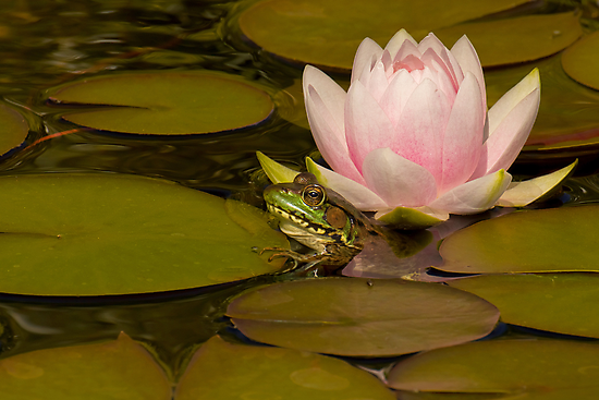 Kermit Meets Lily by Jeff Weymier