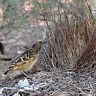 Western Bowerbird taken at Alice Springs Botanical Gardens by Alwyn Simple