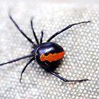 The Redback Spider - Latrodectus hasselti by Nikki Bond