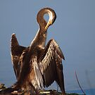 Australian Darter by shortshooter-Al