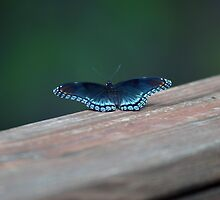 Beautiful Blue Butterfly by Janelle Pacheco