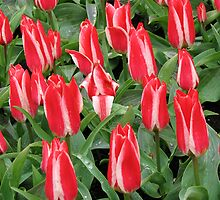 Pinnochios Galore! Colourful Tulips in the Keukenhof by kathrynsgallery