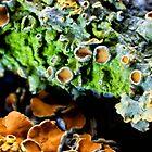 Tree Lichen (Xanthoria parietina) by Vicki Field