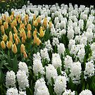 Goldilocks and Snow Whites - Tulips and Hyacinths by Kathryn Jones