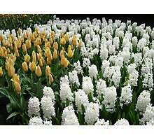 Goldilocks and Snow Whites - Tulips and Hyacinths Photographic Print