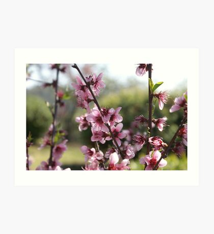 Cherry blossom in Hill End Art Print