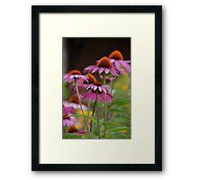 echinacea II Framed Print