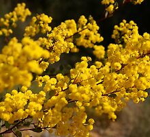 Wattle Gold by wallflowerarts