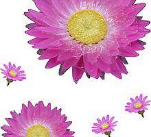 Pink Daisies by STHogan