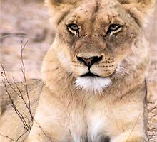 THE INTENSE LIONESS - Panthera leo - Leeu by Magaret Meintjes