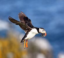 Puffin by Grant Glendinning