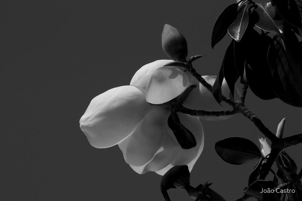 Magnolia 0718 by João Castro