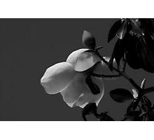 Magnolia 0718 Photographic Print