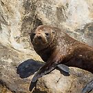New Zealand Fur Seal 2 by mncphotography